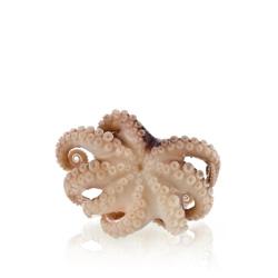 Chobotničky malé